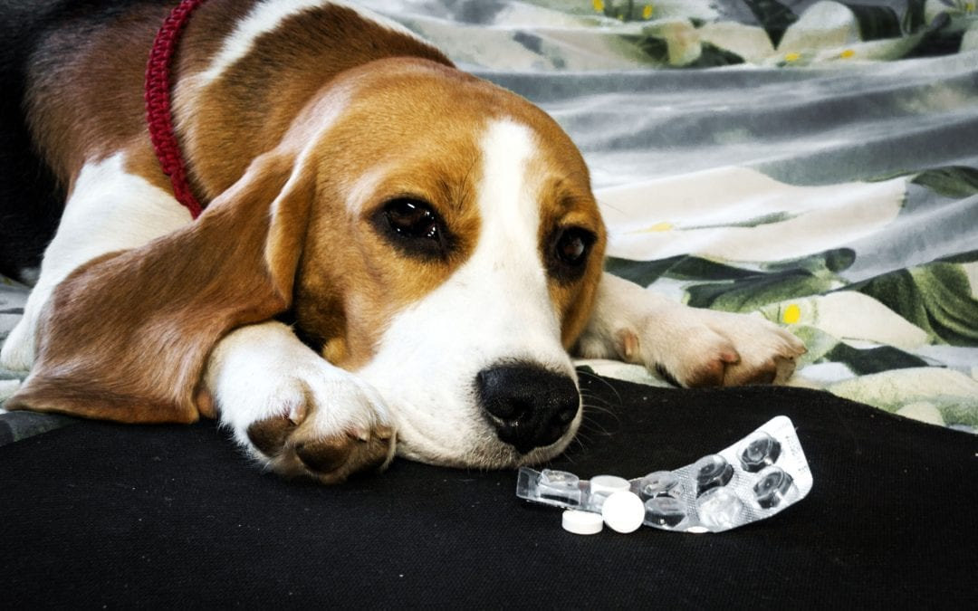 Human Medication For Dogs: Is It Safe To Give A Dog Aspirin?