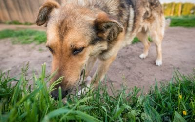 Why Do Dogs Eat Grass? (and is it something to worry about?)