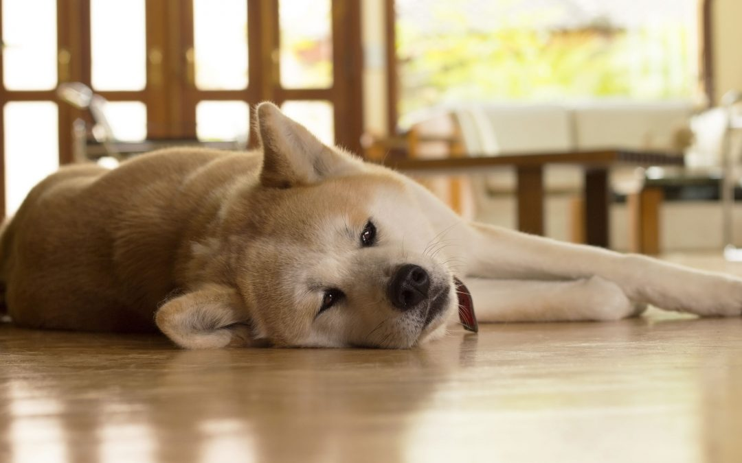 Stomach Aches in Dogs – Causes, Symptoms, and Remedies