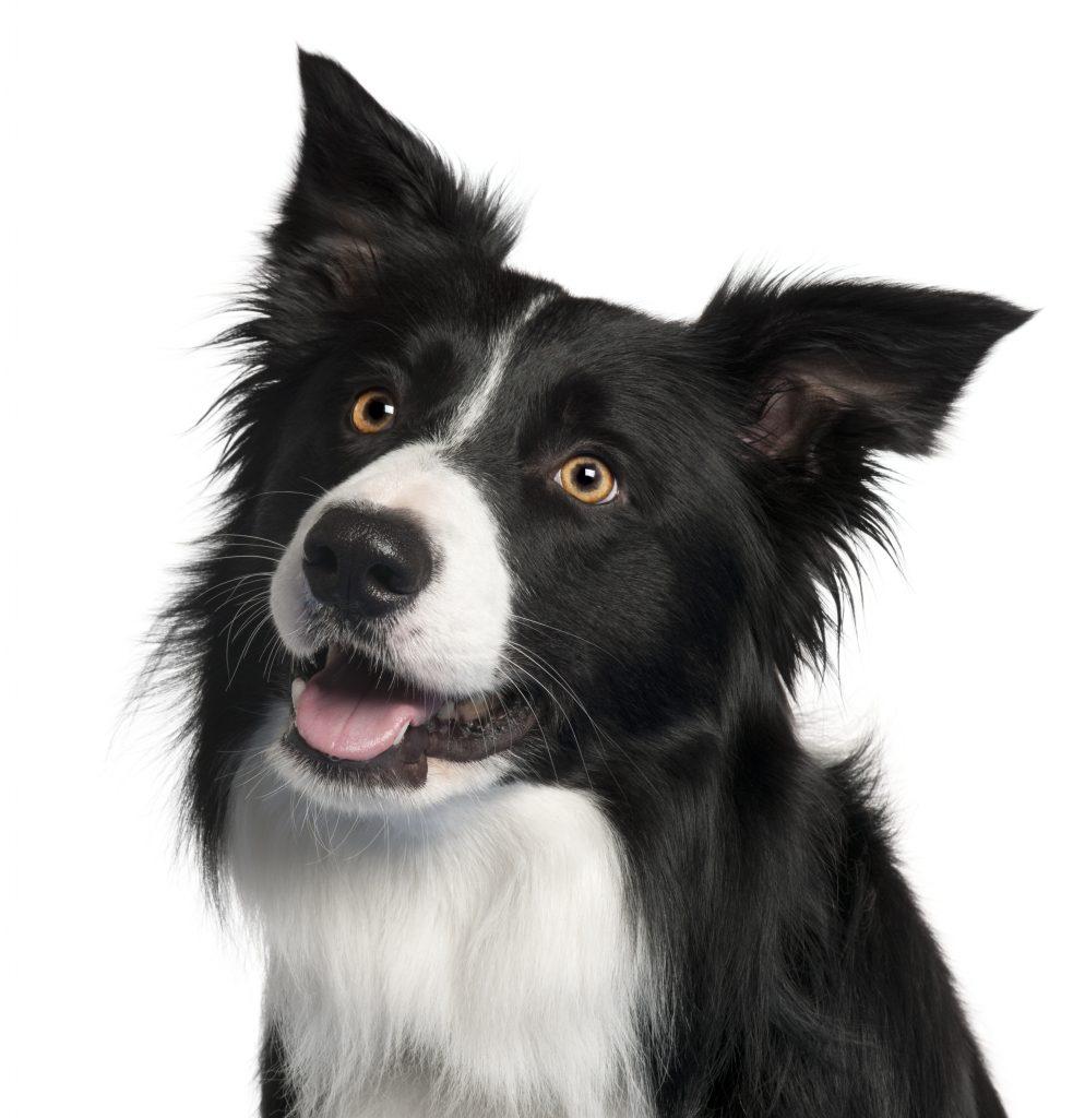 high energy dog breeds | Ultimate Pet Nutrition
