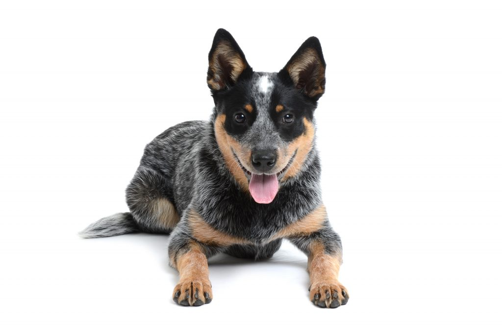 high energy dog breeds   Ultimate Pet Nutrition