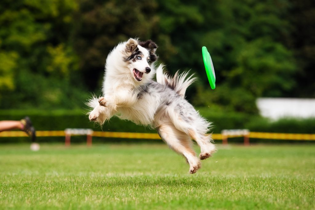 high energy dog breeds | Ultimate Pet Nutrition