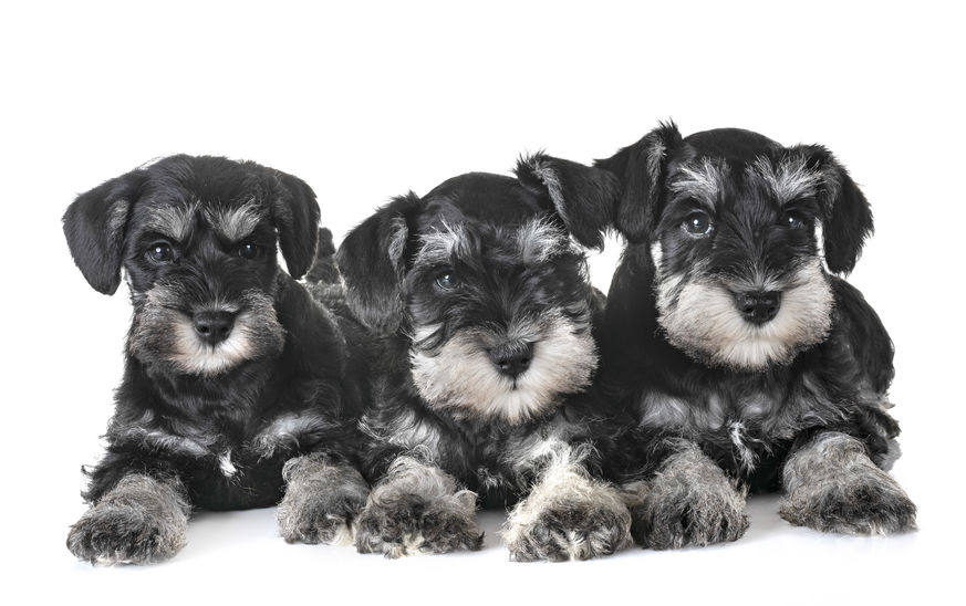 miniature schnauzer health problems | Ultimate Pet Nutrition