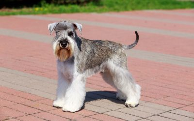 General Health Information for your Miniature Schnauzer