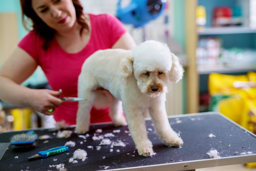 teddy bear cut poodles | Ultimate Pet Nutrition