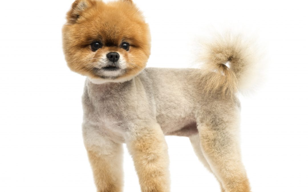 Teddy Bear Cut Poodles: How To Pull Off The Teddy Bear Pomeranian Grooming Technique