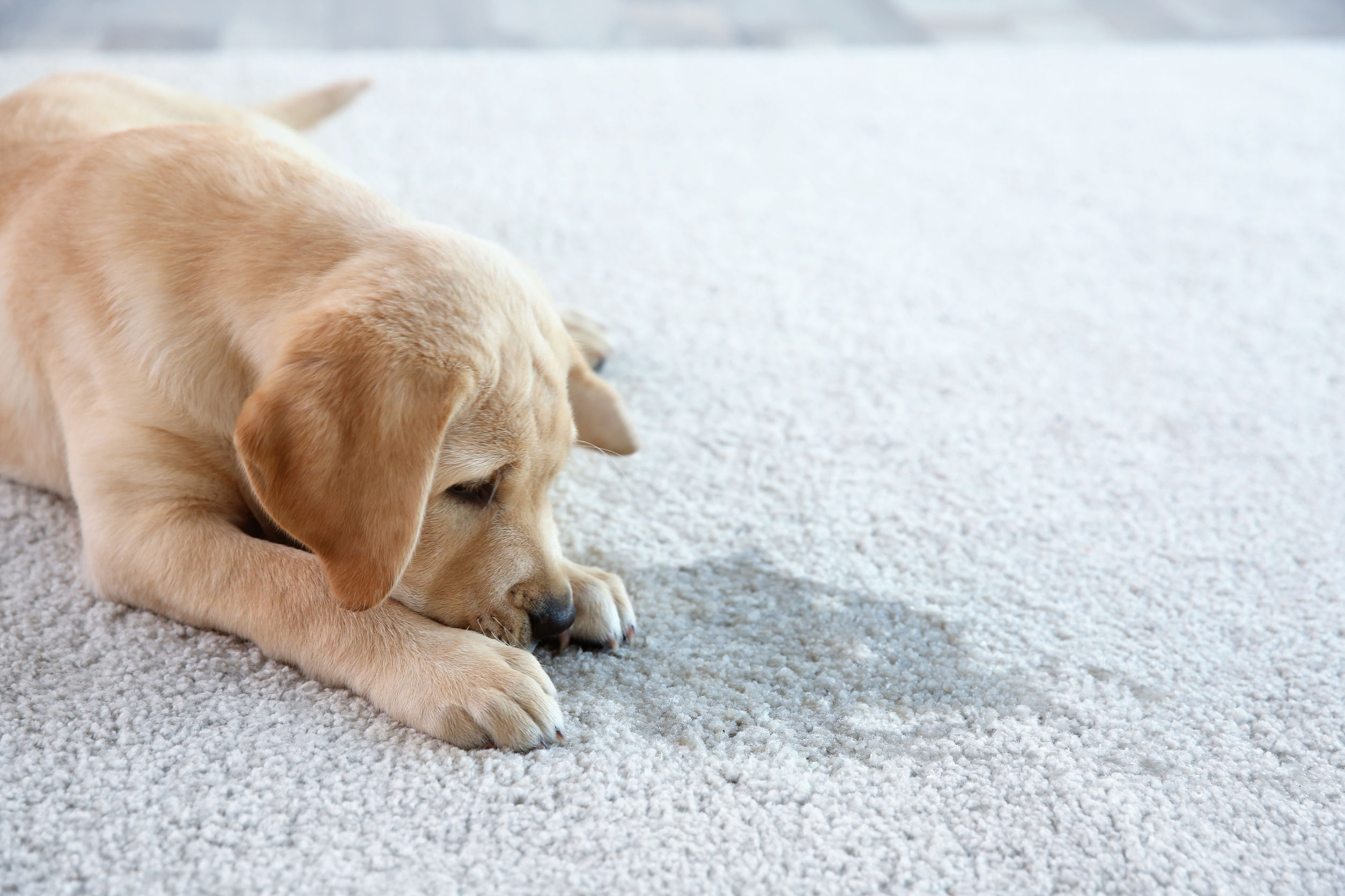 how to stop a dog from urinating indoors   Ultimate Pet Nutrition