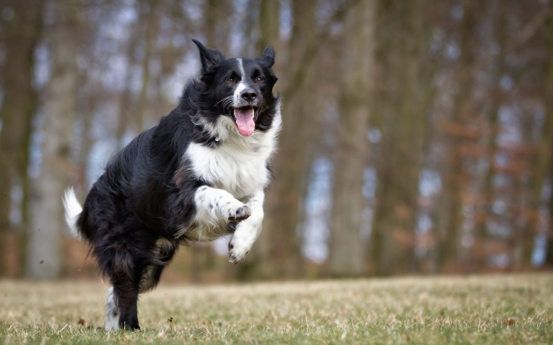 energetic dog breeds |Ultimate Pet Nutrition