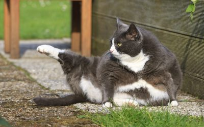 how to help a cat lose weight | Ultimate Pet Nutrition