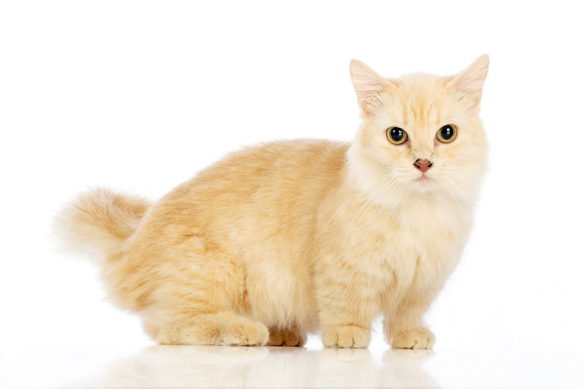 Munchkin Cat on white background