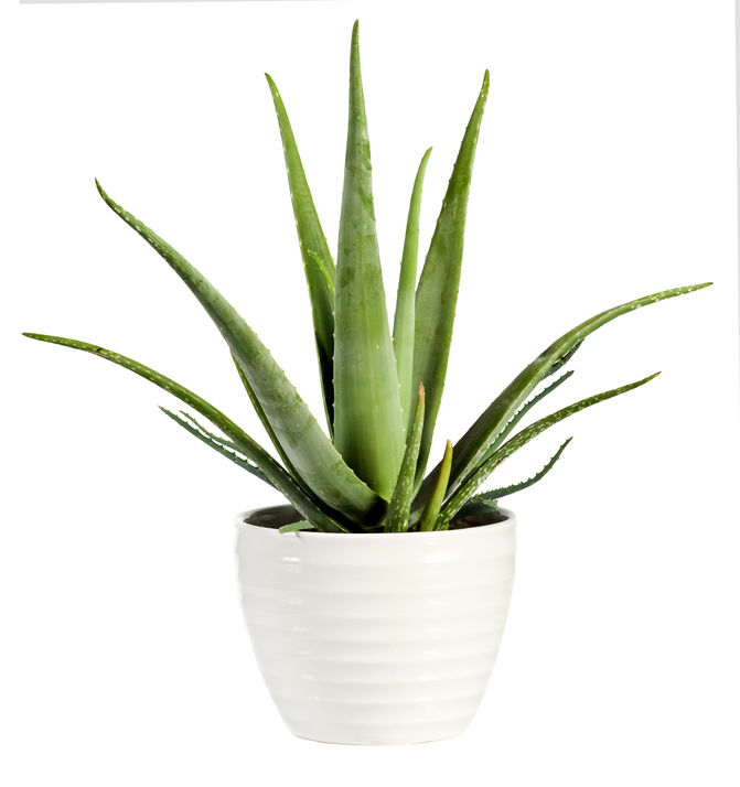 is aloe poisonous to dogs | Ultimate Pet Nutrition