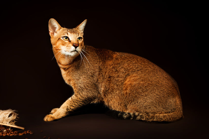 Chausie, abyssinian cat on dark brown background.