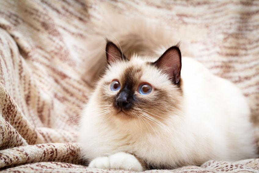 Birman colorpoint cat