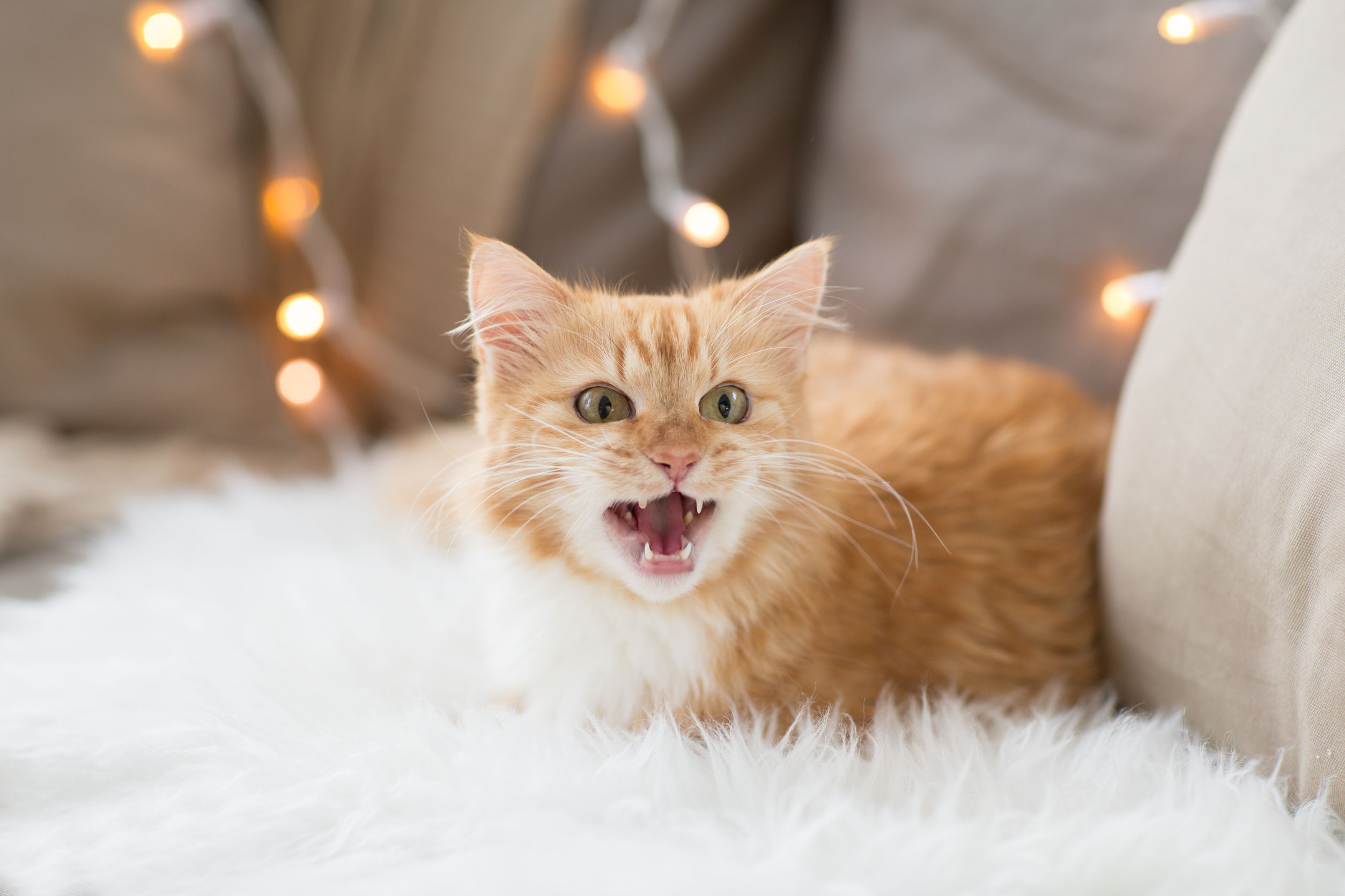 cat sounds and what they mean   Ultimate Pet Nutrition