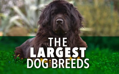 What Are Some Of The Largest Dogs In The World? Check Out This List