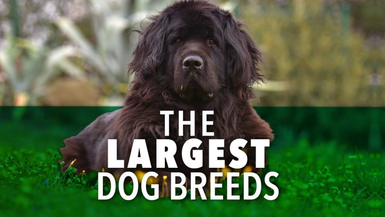 largest dog breed | Ultimate Pet Nutrition