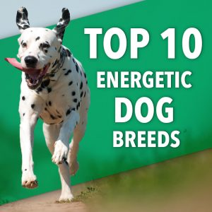 energetic dog breeds | Ultimate Pet Nutrition