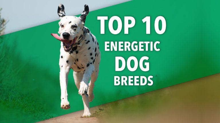 energetic dog breeds | Ultimate Pet Nutrition