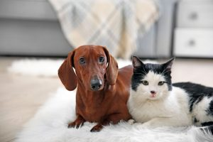 Beautiful cat and dachshund dog on rug, indoor
