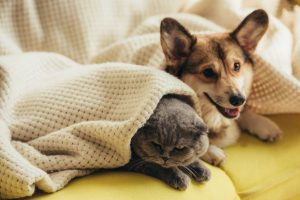 funny scottish fold cat and welsh corgi dog lying under blanket on sofa