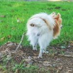 Small furry dog urinating outside