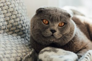 adorable scottish fold cat with blanket lying in bed at home