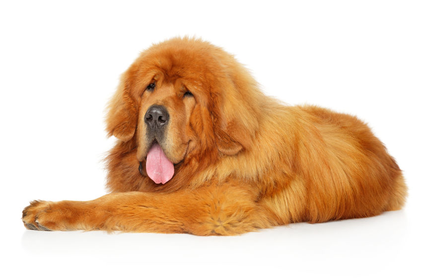 largest dogs in the world | Ultimate Pet Nutrition
