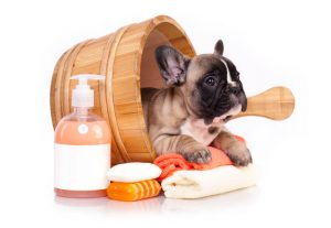 French bulldog in wash bucket with bath supplies