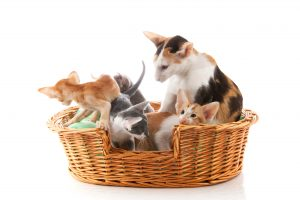 Mother cat with nest Little Siamese kittens sitting in big basket