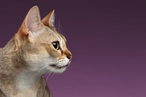 Closeup Singapura Cat Profile view on purple background