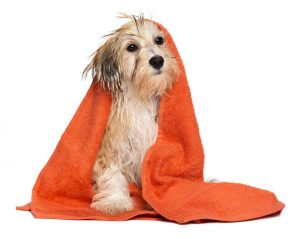 havanese dog in towel