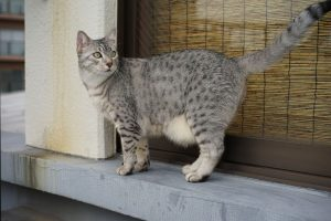 87116071 - the egyptian mau is out