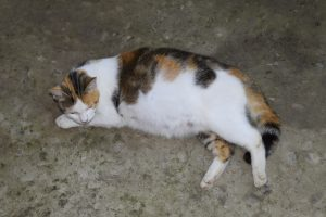 Pregnant cat resting. Calico cat with a big belly - care for pregnant cats
