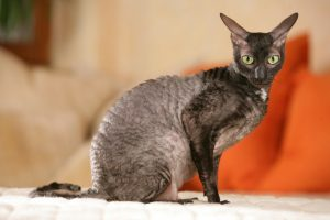 Cornish rex cat sitting sideways on a sofa indoor