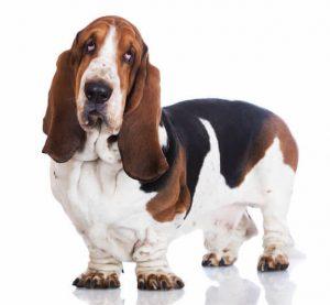 basset hound | Ultimate Pet Nutrition