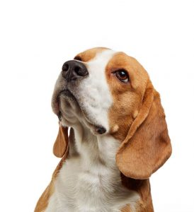 beagle | Ultimate Pet Nutrition