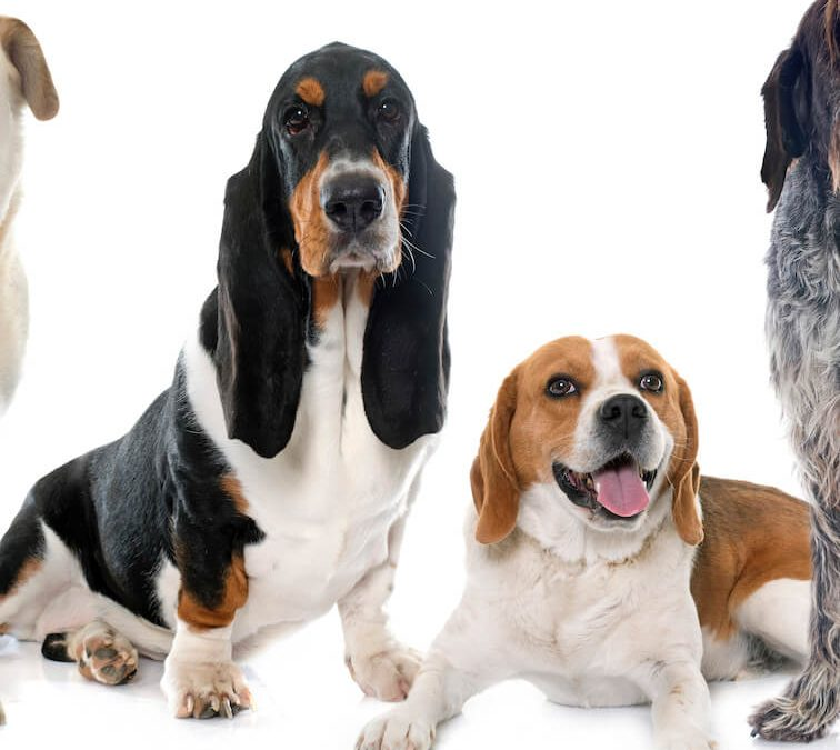 Beagle Vs Basset Hound: What Are The Differences?