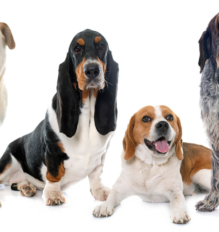 beagle and basset hound | Ultimate Pet Nutrition