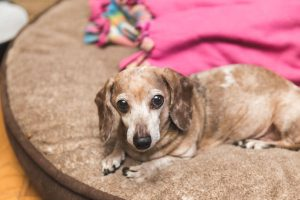 elderly dachshund on bed | Ultimate Pet Nutrition