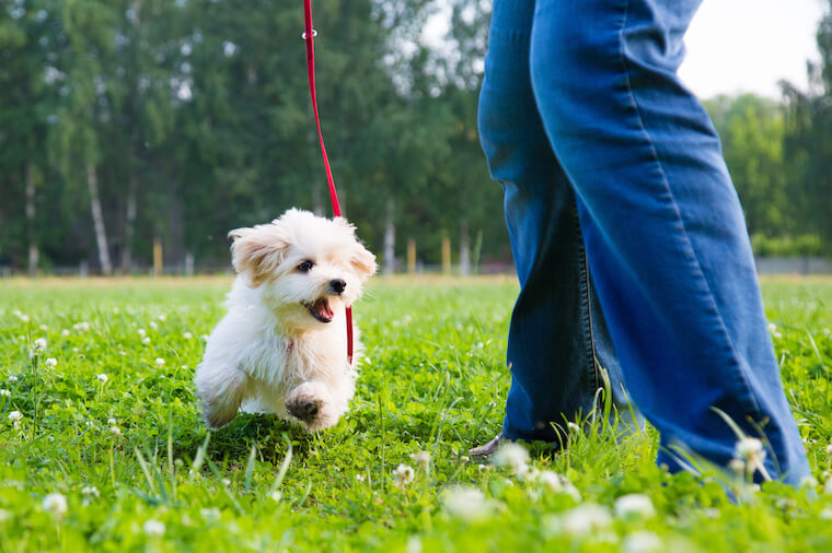 Teaching A Puppy To Walk On A Leash: Tips And Tricks