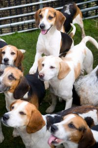 pack of beagles | Ultimate Pet Nutrition