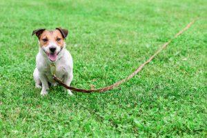 Dog on long leash
