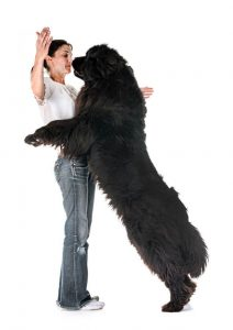 Woman with a large newfoundland dog standing up against her