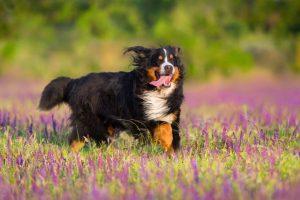 burnese mountain dog running through field