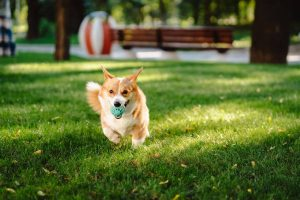 Welsh Corgi playing with his toy on lawn
