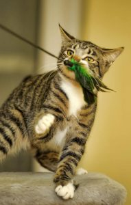 cat with feather toy