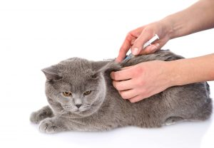 Cute gray cat getting vaccine