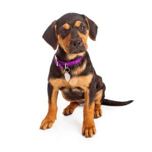 Rottweiler puppy with purple collar and license tags