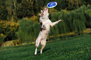 dog fetching frisbee