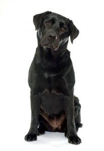 Labradore Retriever - Black Lab